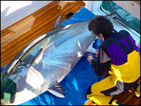 A tuna being tagged, Stanford