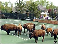 Buffalo herded into tennis court in Pikesville, Maryland