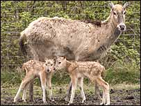 The twin Pere David deer with their mother