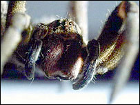 A Brazilian Wandering Spider. Picture courtesy of BBC NHU/Richard Matthews