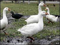 Geese in Ukraine