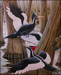 Ivory-billed woodpecker (Cornell)