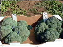 Broccoli