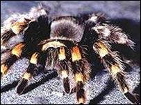 Tarantula (generic)
