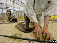 Melon growing in the Gaza strip