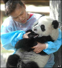 A breeder of Chengdu Panda Breeding and Research Base trains a baby panda in Chengdu, Sichuan Province, April 13, 2005