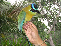 A blue-crowned motmot caught in a monitoring station on a coffee plantation in El Salvador