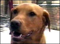 Labrador dog Daisy