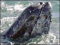 Grey whale. Image: BBC