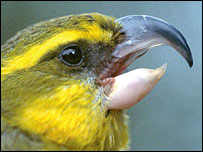 Maui parrotbill, Pseudonestor xanthophrys.  Image: Eric A. van der Werf/AZE