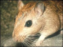 Image of a gerbil
