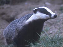 Badger.  Image: RSPCA