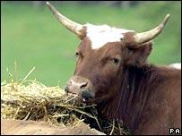 Cow.  Image: PA