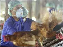 Chickens being vaccinated against avian flu