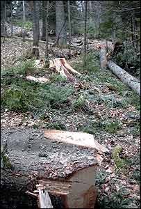Forest ruined by illegal loggers