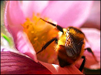 Bee on a pink flower, PA