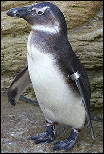 A baby South African Blackfoot penguin