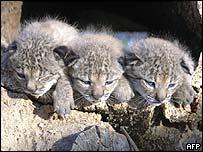 Lynx cubs Brezina (left), Brezo and Brisa