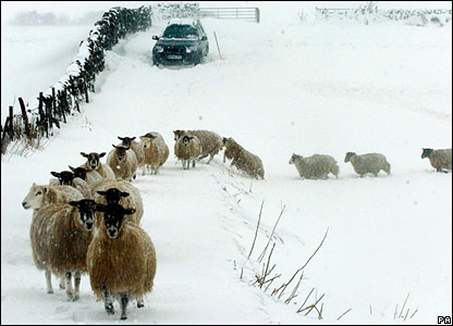 Sheep in the snow on the Pennines in February