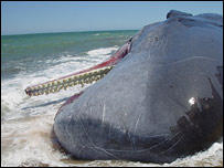 Stranded sperm whale (Michael Moore/PA)