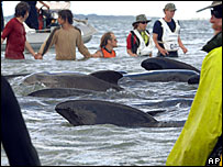 Conservation workers and volunteers use a high tide on 21 December 2005 to refloat whales