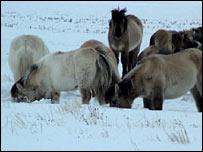 Yakutian horses (Zimov/Science)