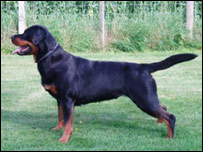 Rottweiler with tail. Copyright John McCann.