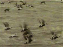 Eider ducks on Wash