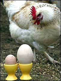 Gallina y huevos