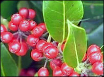 Berried holly