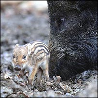 Baby and parent boar at the Woodland Wild Boar Farm - PA