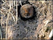 Water vole (PA)