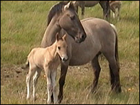 konik ponies - Picture provided by the National Trust