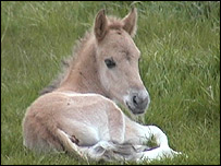 Konik pony - Picture provided by the National Trust