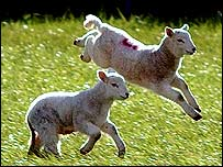 Lambs