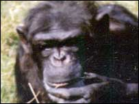 Angela the chimpanzee