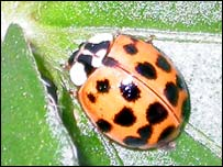 The harlequin ladybird