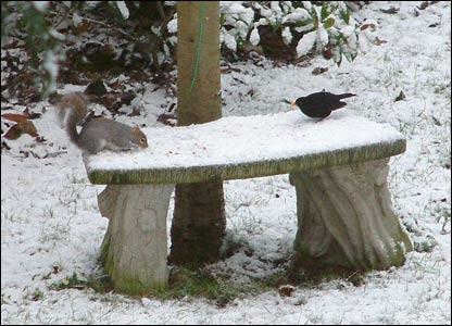 A blackbird waits its turn for peanuts