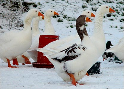 Geese getting goose-pimples in the snow
