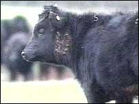 Fern, the pedigree Dexter calf