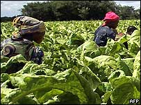 Women in a tobacco field in southern Africa