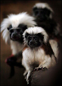 Cotton-top tamarins (PA)
