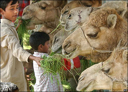 Children feed camels at Gabtoli cattle market in Dhaka, Bangladesh