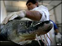 A man prepares to cut open a sturgeon