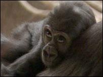 Baby gorilla Moja