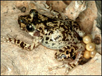 Mallorcan midwife toad.  Image: Durrell Wildlife