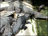 Crocodiles in Djibelor Farm