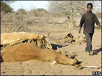 Boy walks past dead cattle in northern Kenya