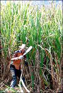 Sugar-cane field