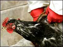 Chicken captured for slaughter